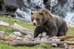 Grizzly-bear-in-Yellowstone-National-Park,-Wyoming
