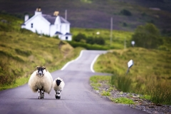 Two-sheep-walking-on-street-in-Scotland