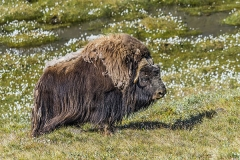Musk-Ox-in-Greenland